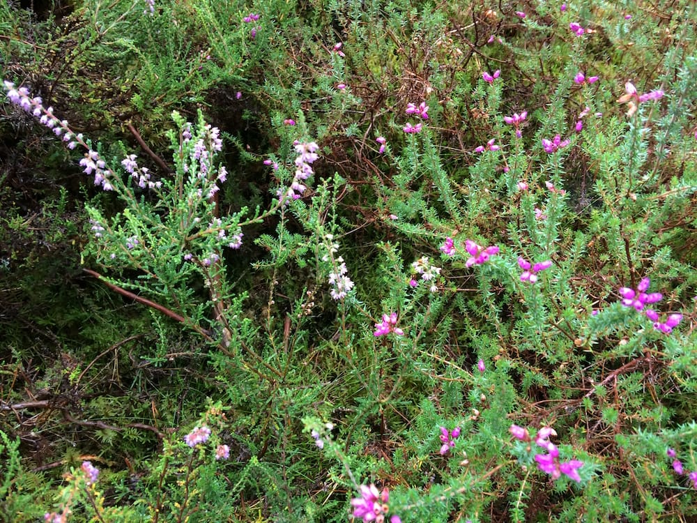 Beautiful heather in Culbokie Wood