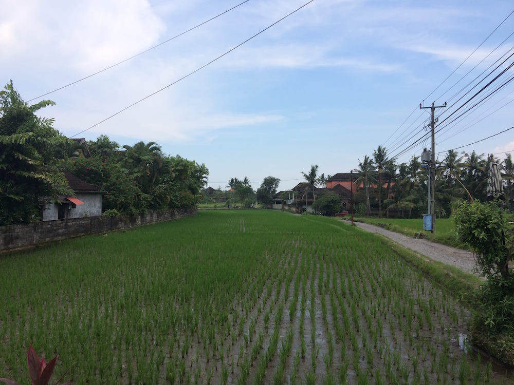 The rice fields next to our drive