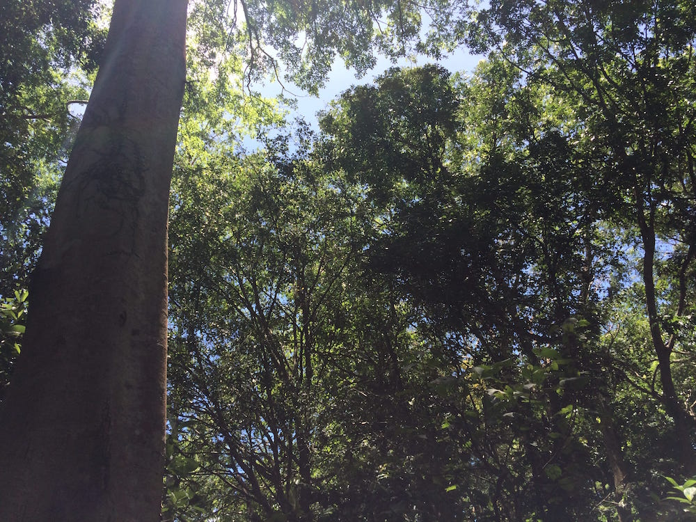 The forest canopy is thick and lush at the Monkey Forest