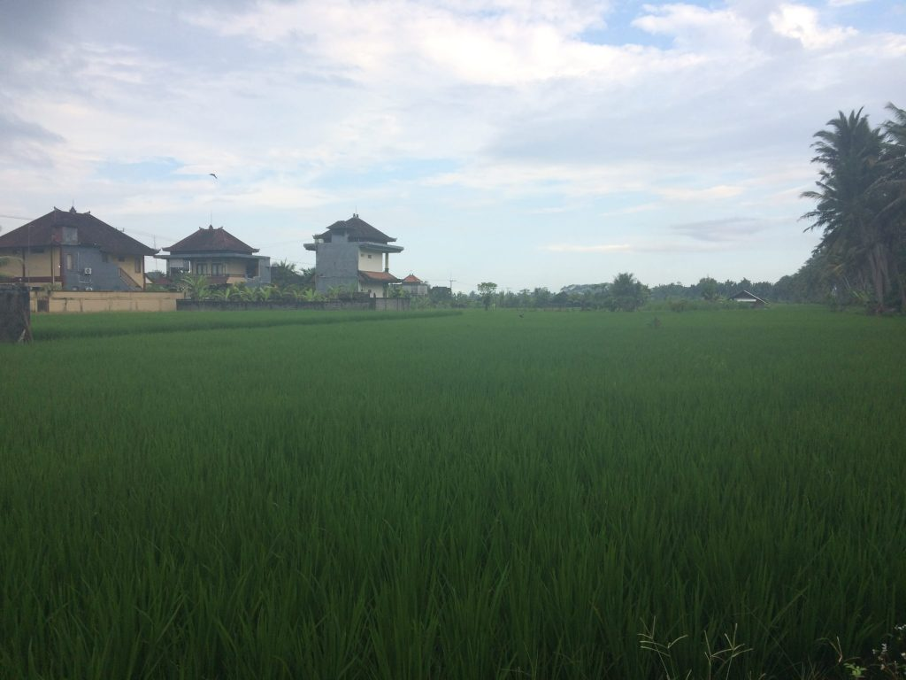 Guli showed us rice field after rice field