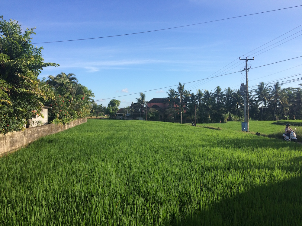 One last look at the rice field next to our Villa, see how it's grown